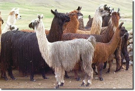 Les types de laine chez le lama lain - Les differents types de laine ...